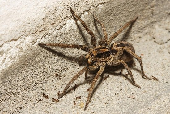 wolf spider - How To Get Rid Of Wolf Spiders In The Basement