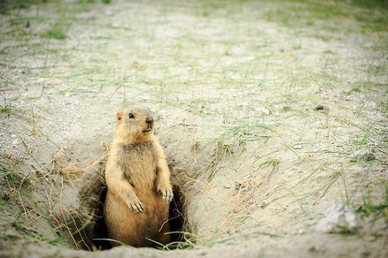 What Attracts Gophers to Your Yard1