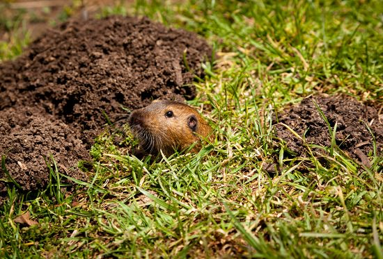 What Attracts Gophers to Your Yard3