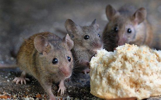 Does Boric Acid Kill Mice2