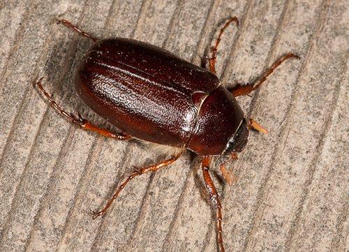 Do June Bugs Bite1