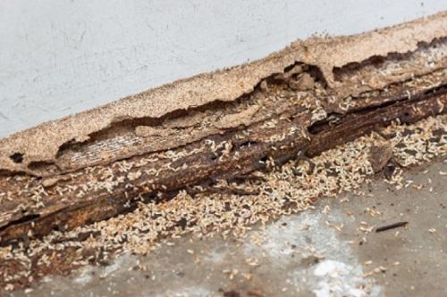 Borax for Carpenter Ants2