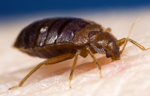 Peppermint Oil for Bed Bugs 1