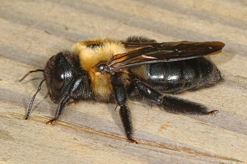 Peppermint Oil for Bees1