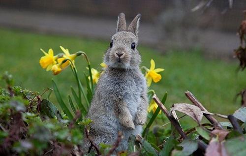 Homemade Rabbit Repellent Recipes1