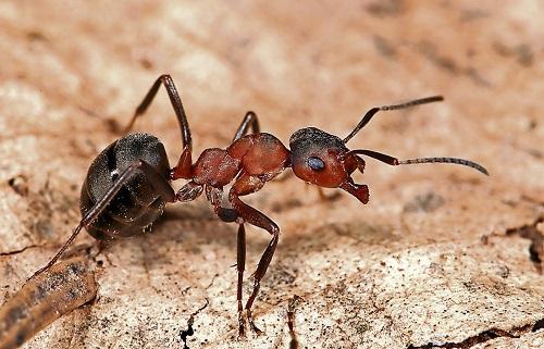 Does Epsom Salt Kill Ants2