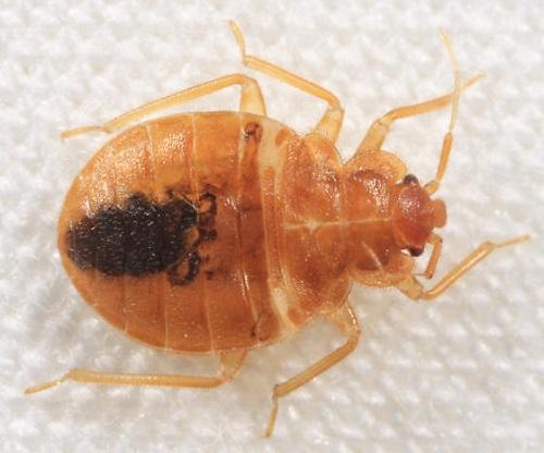 Does White Vinegar Kill Bed Bugs1