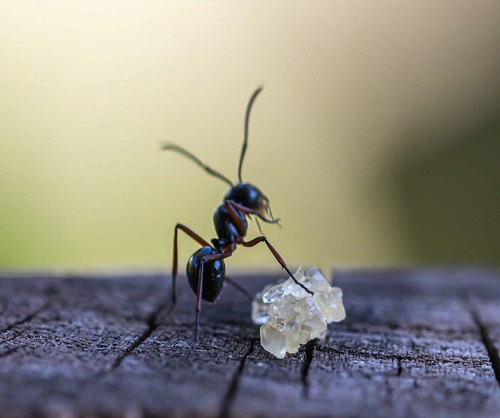 How Do You Get Rid Of Sugar Ants1
