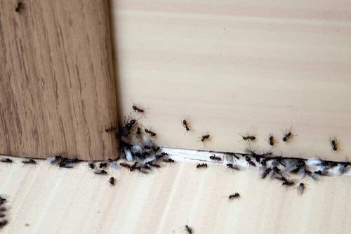 Repels Ants