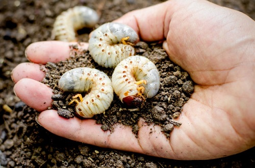 What Kills Maggots Instantly1