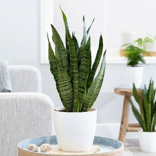 Indoor Plants to Get Rid Of Mold4