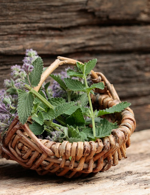 Catnip Herb for Mosquitoes