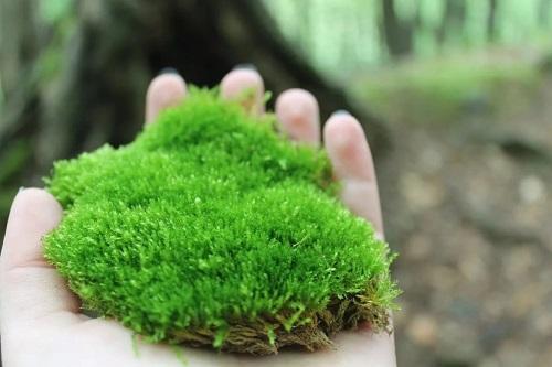 Where Does Sea Moss Grow1