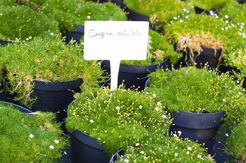 Where Does Sea Moss Grow2