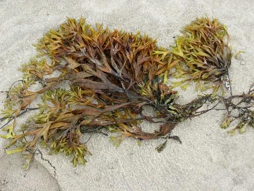 Sea Moss vs Seaweed3